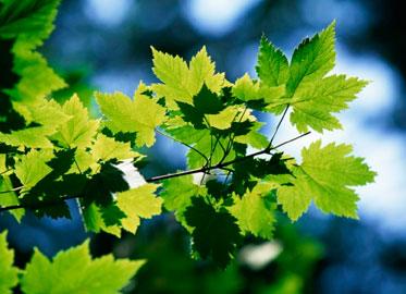 лиственные крупномеры